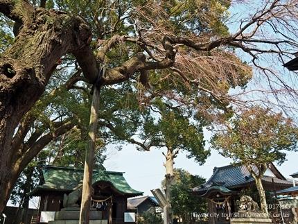 三島八幡神社のシダレザクラ [平成29年4月5日(水)更新]6