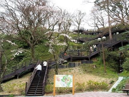 松ヶ岡公園のソメイヨシノ [平成29年4月8日(土)更新]6