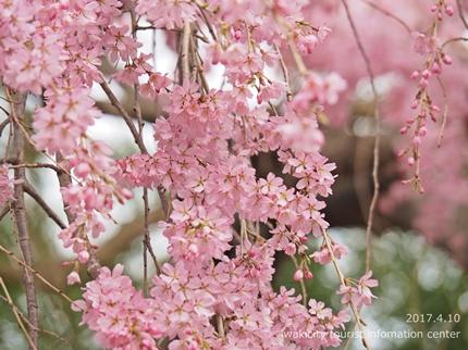 三島八幡神社のシダレザクラ [平成29年4月10日(月)更新]6