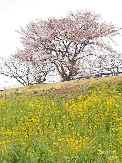 新川沿い・平中央公園のソメイヨシノ [平成29年4月10日(月)更新]6
