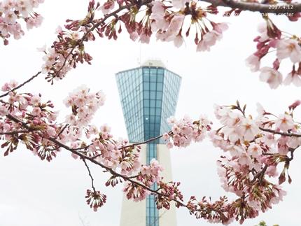 三崎公園のソメイヨシノ [平成29年4月12日(水)更新]6