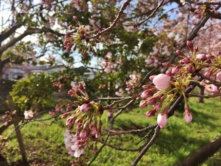 《いわき市桜開花情報》鹿島千本桜 [平成29年4月12日(水)更新]6