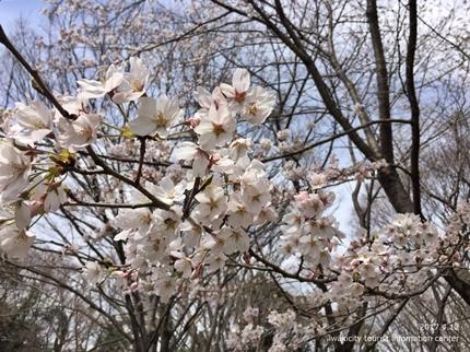 御幸山公園・観音山公園のソメイヨシノ [平成29年4月12日(水)更新]2-6