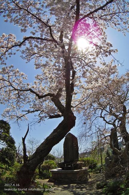《桜開花状況》四倉地区の桜 [平成29年4月16日(日)更新]6