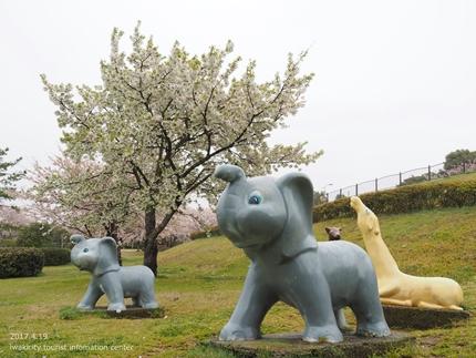 《いわき市桜開花情報》三崎公園のソメイヨシノ [平成29年4月19日(水)更新]6