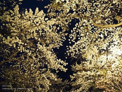 いわきの里鬼ヶ城「桜ライトアップ」レポート [平成29年4月30日(日)更新]5