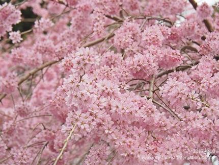 三島八幡神社のシダレザクラ [平成29年4月10日(月)更新]7