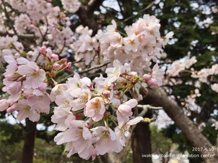 御幸山公園・観音山公園のソメイヨシノ [平成29年4月12日(水)更新]7