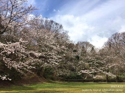 御幸山公園・観音山公園のソメイヨシノ [平成29年4月12日(水)更新]2-7