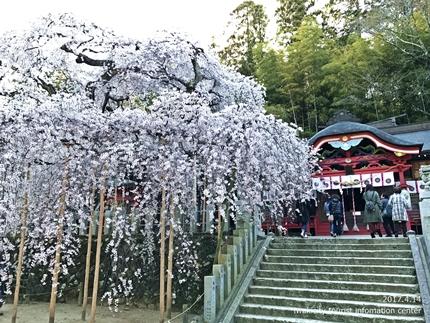 小川諏訪神社のシダレザクラ ライトアップ![平成29年4月14日(金)更新]7