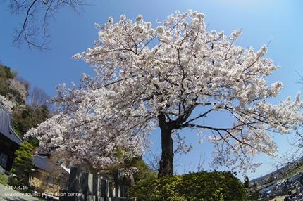 《桜開花状況》四倉地区の桜 [平成29年4月16日(日)更新]7