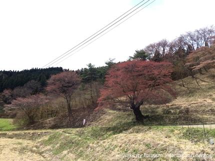 新田の大山桜 [平成29年4月27日(木)更新]6