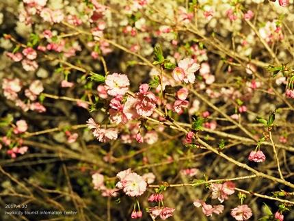 いわきの里鬼ヶ城「桜ライトアップ」レポート [平成29年4月30日(日)更新]6