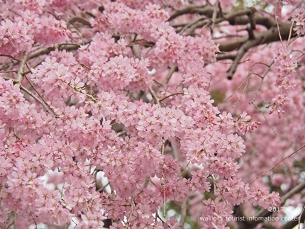 三島八幡神社のシダレザクラ [平成29年4月10日(月)更新]8