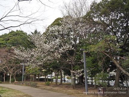 新川沿い・平中央公園のソメイヨシノ [平成29年4月10日(月)更新]8