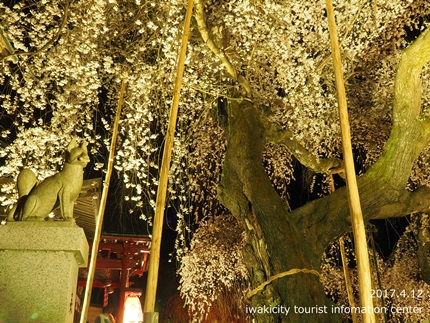 小川諏訪神社のシダレザクラ ライトアップ![平成29年4月12日(水)更新]8