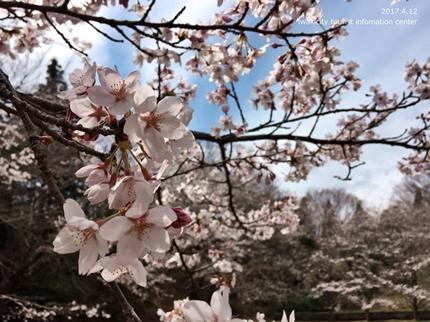 御幸山公園・観音山公園のソメイヨシノ [平成29年4月12日(水)更新]2-8