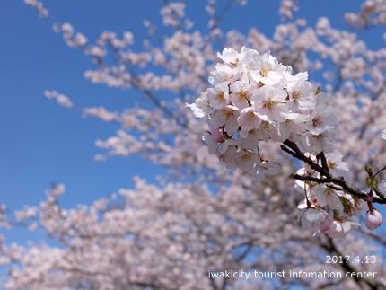 夏井川沿いのソメイヨシノ[平成29年4月13日(木)更新]8