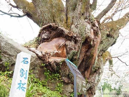 田人の石割桜が満開となりました! [平成29年4月22日(土)更新]4