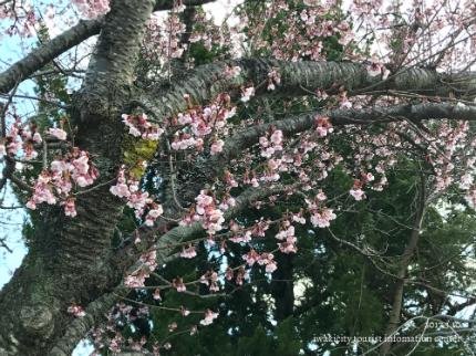 国宝白水阿弥陀堂のヒガンザクラ [平成29年3月10日(金)更新]8