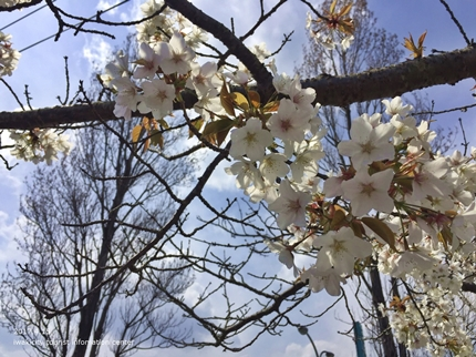 県立いわき公園の桜 [平成29年4月15日(土)開催]8