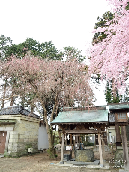 三島八幡神社のシダレザクラ [平成29年4月10日(月)更新]9