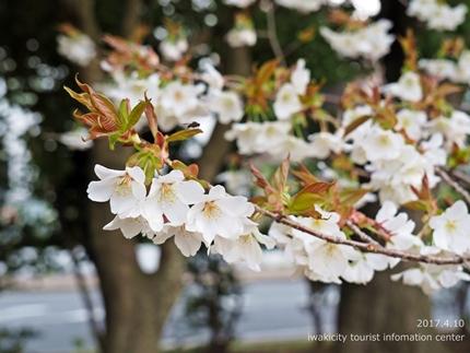新川沿い・平中央公園のソメイヨシノ [平成29年4月10日(月)更新]9
