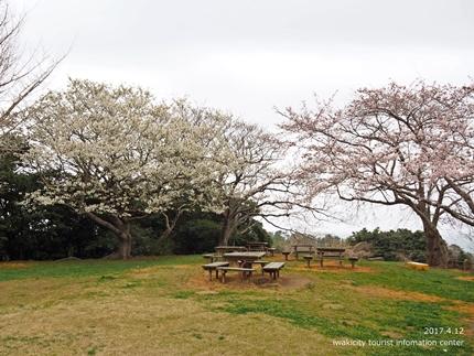 三崎公園のソメイヨシノ [平成29年4月12日(水)更新]9