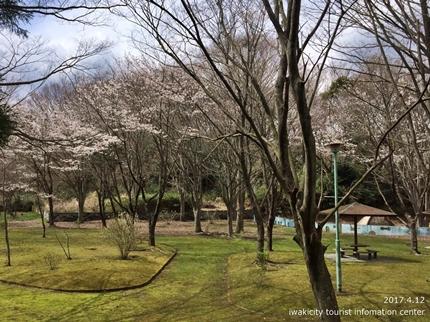 御幸山公園・観音山公園のソメイヨシノ [平成29年4月12日(水)更新]2-9