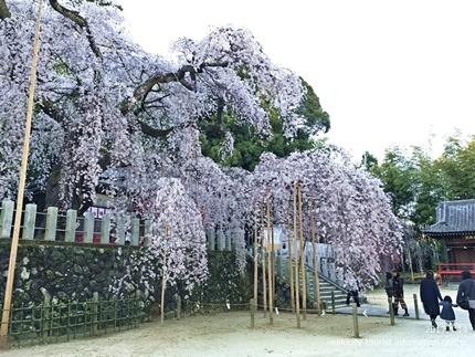 小川諏訪神社のシダレザクラ ライトアップ![平成29年4月14日(金)更新]9