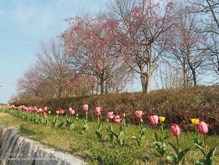 21世紀の森公園の桜 [平成29年4月16日(日)開催]9