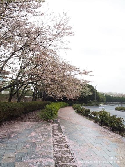 《いわき市桜開花情報》三崎公園のソメイヨシノ [平成29年4月19日(水)更新]9