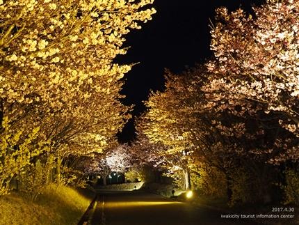 いわきの里鬼ヶ城「桜ライトアップ」レポート [平成29年4月30日(日)更新]8