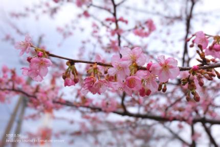 常磐共同火力(株)勿来発電所の河津桜 [平成29年2月27日(月)]9