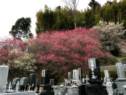 梅林寺のウメ [平成29年3月6日(月)更新]9
