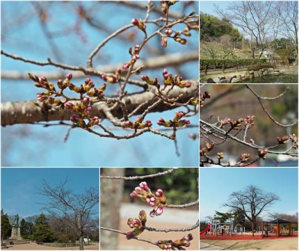 松ヶ岡公園のソメイヨシノ [平成29年4月3日(月)更新]collage