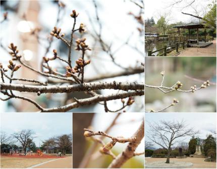 松ヶ岡公園のソメイヨシノ [平成29年3月29日(水)更新]