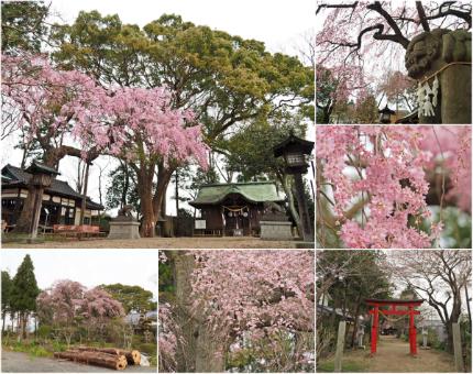 三島八幡神社のシダレザクラ [平成29年4月10日(月)更新]