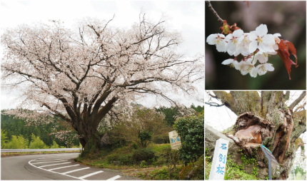 田人の石割桜が満開となりました! [平成29年4月22日(土)更新]