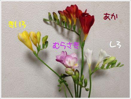 4種のフリージア