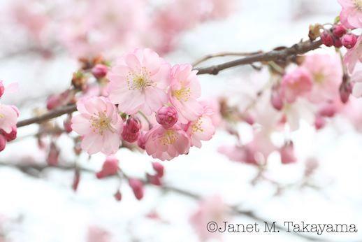 cherry1.jpg
