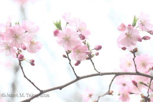 sakurabijin4.jpg