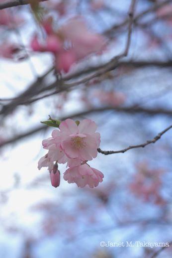 sakurakyo4.jpg