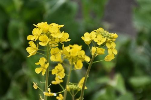 D7T_1320菜の花