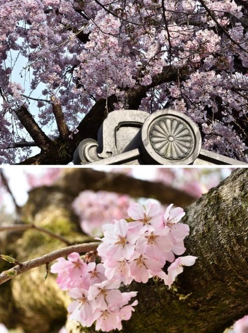 氷室桜部分