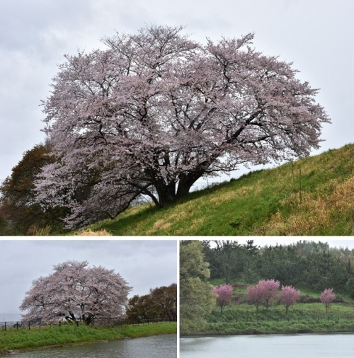 ①幾坂池桜