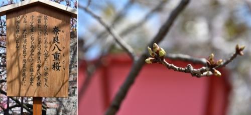 ⑥奈良八重桜