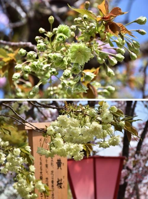 ⑤御衣黃と黄桜