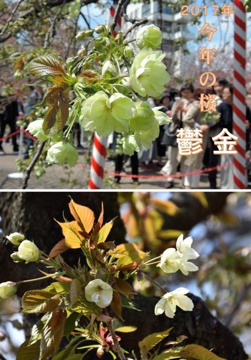 ①今年の桜 鬱金