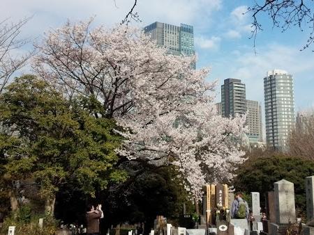 2015-03-28 青山墓地-crop